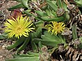 舌葉花屬 Glottiphyllum compressum -倫敦植物園 Kew Gardens, London- (9213294877).jpg