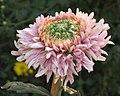 菊花-壽(鵝手粉鳶) Chrysanthemum morifolium 'Longevity' -中山小欖菊花會 Xiaolan Chrysanthemum Show, China- (11962011466).jpg