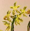 蝴蝶蘭屬 Phalaenopsis viridis -台南國際蘭展 Taiwan International Orchid Show- (39128281160).jpg