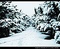 雪松1 - panoramio.jpg