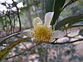 香花茶 Camellia waldenae -香港城門郊野公園 Shing Mun Country Park, Hong Kong- (9237500361).jpg