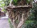 鳥榕 Ficus wightiana - panoramio.jpg