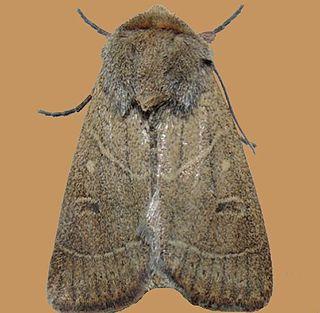 <i>Ulolonche culea</i> Species of moth