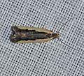 - 2301 – Dichomeris serrativittella – Dichomeris Species Group (14166584734).jpg