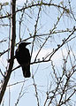0107 crow silouette munsel odfw (5806245862).jpg