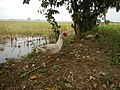 0328jfLands Culianin Ducklings Plaridel Bulacan Cattle Fieldsfvf 21.JPG