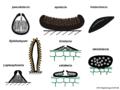 04 03 45 cuerpos fructíferos, Dothideomycetes, Ascomycota (M. Piepenbring).png