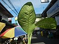 0546La Suerte lucky plant in the Philippines 09.jpg