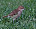 060328 rufous hornero 2 CN - Flickr - Lip Kee.jpg