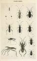 07-Indian-Insect-Life - Harold Maxwell-Lefroy - Coreidae.jpg