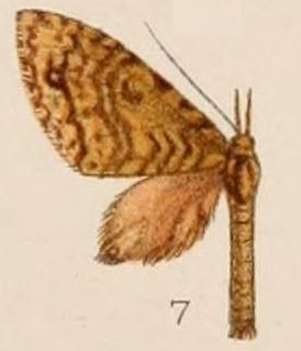 <i>Sauris</i> (moth) genus of insects