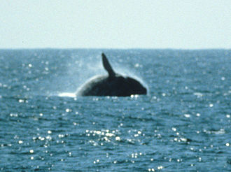 North Pacific right whale - Breaching right whale, Half Moon Bay, California, March 20, 1982, photo by Jim Scarff