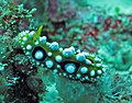 1230RajaAmpatS - 46 Phyllidia ocellata (5556224518).jpg