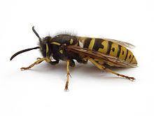 Yellow Jacket Vs Wasp