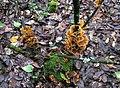 2010-02-28 Stereum ostrea (Blume & T. Nees) Fr 89461.jpg