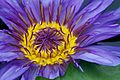 2011-365-263 Blazing Lily (6167884525).jpg