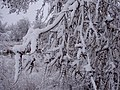 2012-03-17 31 Snow-covered Siberian Elm branches along the Humboldt River Walk during a snowstorm in Elko, Nevada.jpg