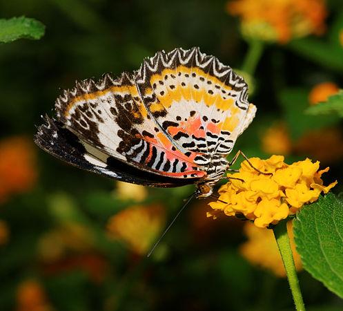 2012-07-20 15-32-08-Cethosia sp..jpg