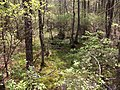 2013-05-10 14 58 15 View into a spaghnum bog along the Cranberry Trail in Brendan T. Byrne State Forest.jpg