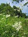 20130619Chaerophyllum temulum1.jpg