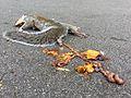 2014-11-09 Squirrel with gut trail.jpg