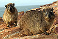 2014-12-02 06h42 Dassies in Mossel Bay South Africa anagoria.JPG