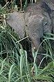 2014 Borneo Luyten-De-Hauwere-Elephant-02.jpg