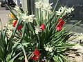 2015-03-31 10 22 20 Red tulips and white daffodils along Idaho Street (Interstate 80 Business) in Elko, Nevada.JPG