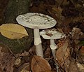 2015.10.10.-06-Viernheim--Gruener Knollenblaetterpilz.jpg