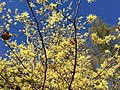 2016-10-25 10 37 29 American Witch-Hazel blooming at the Fishers Gap Overlook along Shenandoah National Park's Skyline Drive on the border of Page County, Virginia and Madison County, Virginia.jpg