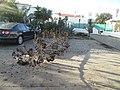 2017-12-11 Storm damage, Urbanização Jacarandá, Albufeira (1).JPG
