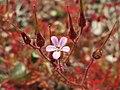 20170621Geranium robertianum1.jpg
