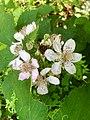 20190624 Rubus armeniacus Drouwenerzand.jpeg