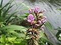20190713Stachys palustris2.jpg