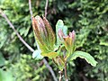 2020-04-19 15 48 12 New leaves in spring on a Wax Myrtle along Tranquility Court in the Franklin Farm section of Oak Hill, Fairfax County, Virginia.jpg