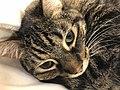 2020-04-24 14 00 54 A tabby cat lying on a couch in the Franklin Farm section of Oak Hill, Fairfax County, Virginia.jpg