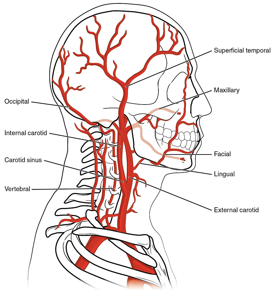 File:2122 Common Carotid Artery.jpg - Wikimedia Commons