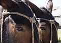 2 mules heads in Córdoba Province Argentina (249741183).jpg