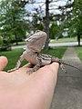 3 month old bearded dragon.jpg