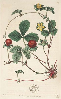96851 Fragaria indica Andrews.jpg