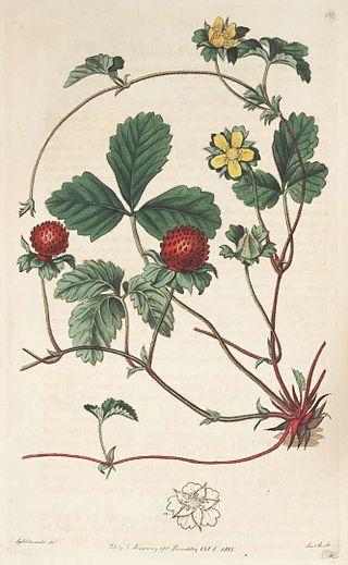 Potentilla indica (= Duchesnea indica) - fraisier des Indes, fraisier à fleurs jaunes 320px-96851_Fragaria_indica_Andrews