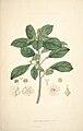 9 Securinega nitiga - John Lindley - Collectanea botanica (1821).jpg