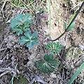 A. Hortensis 3.jpg