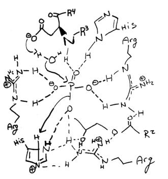 Lysophosphatidic acid phosphatase type 6 - Image: ACP 6 2 hydrolysis mechanism
