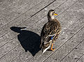 A duck and his shadow.jpg