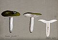 A fungus (Russula species); three fruiting bodies, one secti Wellcome V0043417.jpg