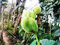 A green, egg-shaped, green-colored fruit.jpg