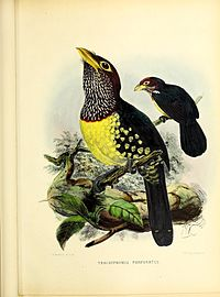 A monograph of the Capitonidæ, or scansorial barbets (20175874265).jpg