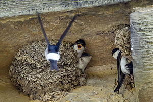 Common house martin - A mother flying back to a full nest in the eaves of a house in Kent, England