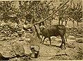 A ploughman in Syria 1914.jpg